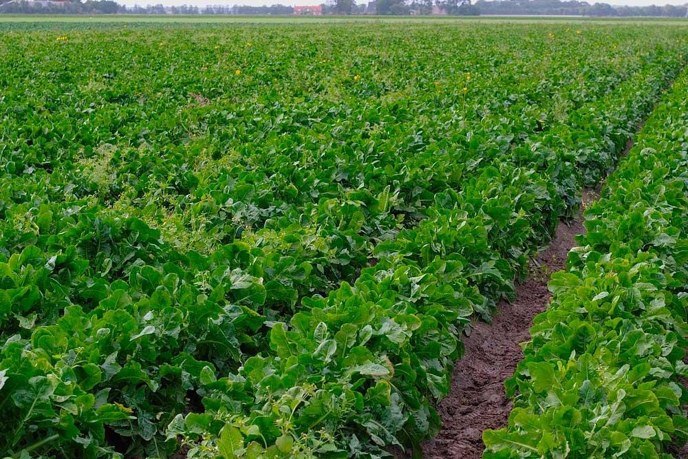 ricetta-con-cicoria-azienda-agricola-agrosi