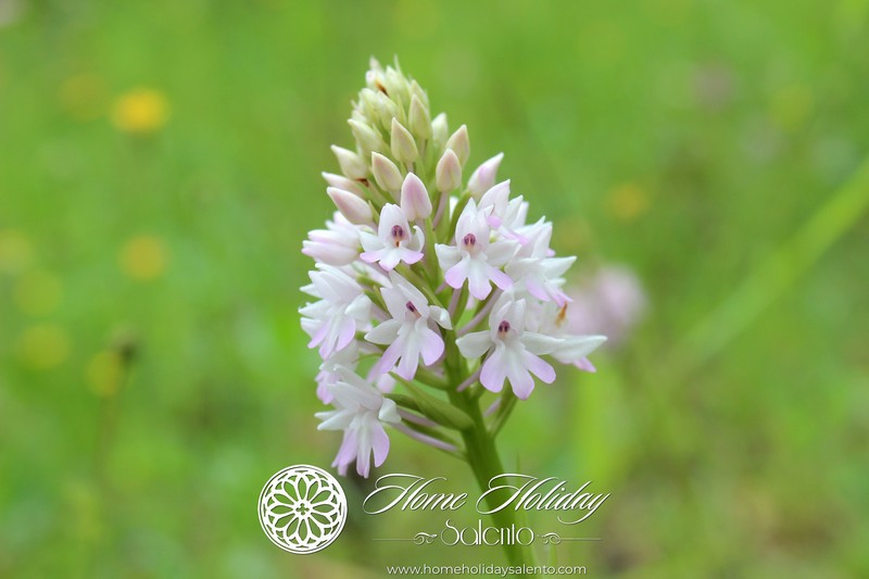 Itinerario Orchidee Spontanee